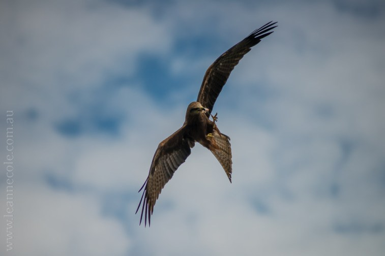 healesville-sanctuary-spirits-of-the-sky-0426