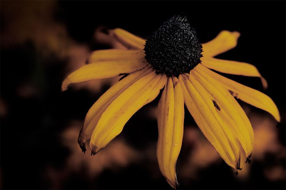 cone-flower-MFGS-macro-fineart
