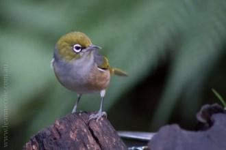 healesville-sanctuary-birds-australian-0244