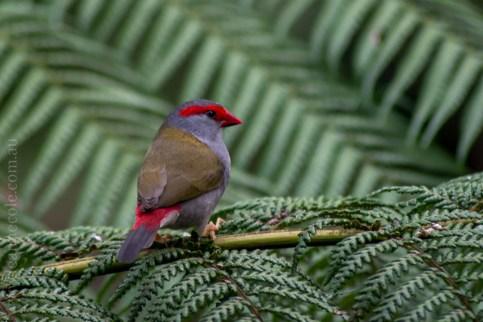 healesville-sanctuary-birds-australian-0312