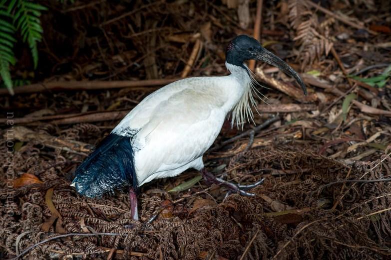 healesville-sanctuary-birds-australian-0785