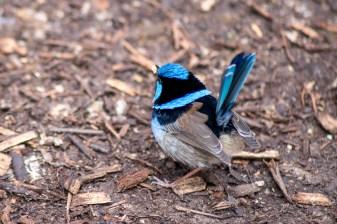 healesville-sanctuary-birds-australian-1320