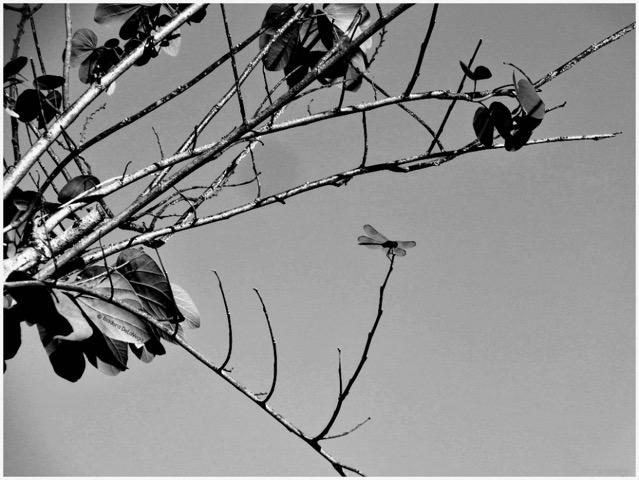 tree-bw-1000-dragonfly-web