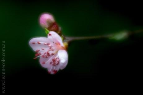 flora-healesville-sanctuary-lensbaby-velvet56-4598