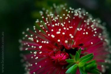 flora-healesville-sanctuary-lensbaby-velvet56-4666