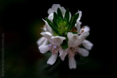 flora-healesville-sanctuary-lensbaby-velvet56-4727
