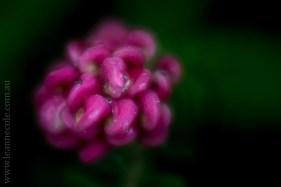 flora-healesville-sanctuary-lensbaby-velvet56-4820