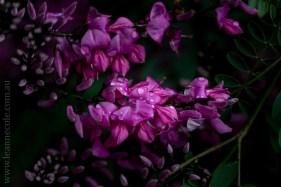 flora-healesville-sanctuary-lensbaby-velvet56-5011