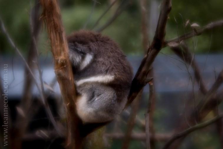 healesville-sanctuary-animals-lensbaby-velvet56-4632