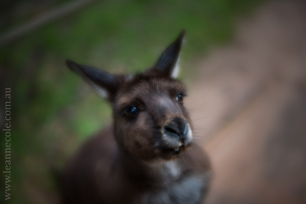 healesville-sanctuary-animals-lensbaby-velvet56-4732