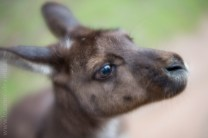 healesville-sanctuary-animals-lensbaby-velvet56-4733