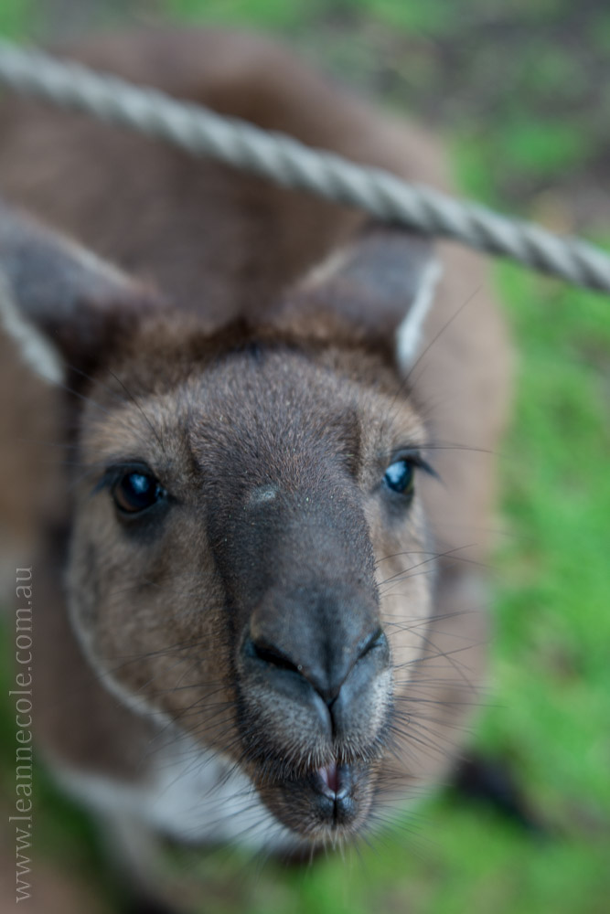 healesville-sanctuary-animals-lensbaby-velvet56-4759