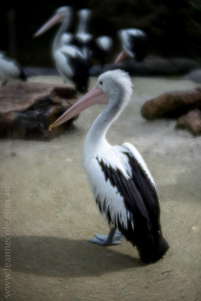 healesville-sanctuary-animals-lensbaby-velvet56-4912