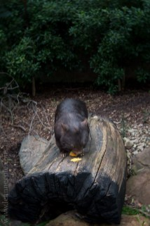 healesville-sanctuary-animals-lensbaby-velvet56-4971