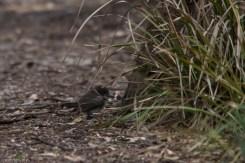 melbourne-banyule-flats-birds-109