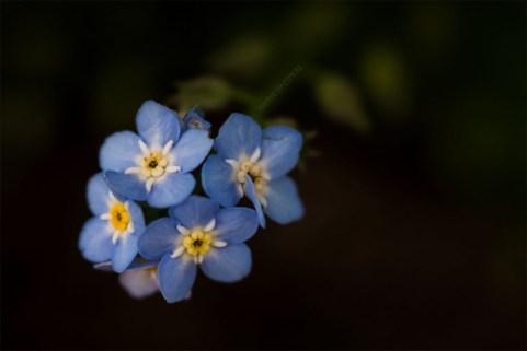alowyn-gardens-flower-lensbaby-velvet56