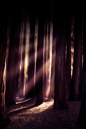 redwood-forest-apollobay-beech-sunrays