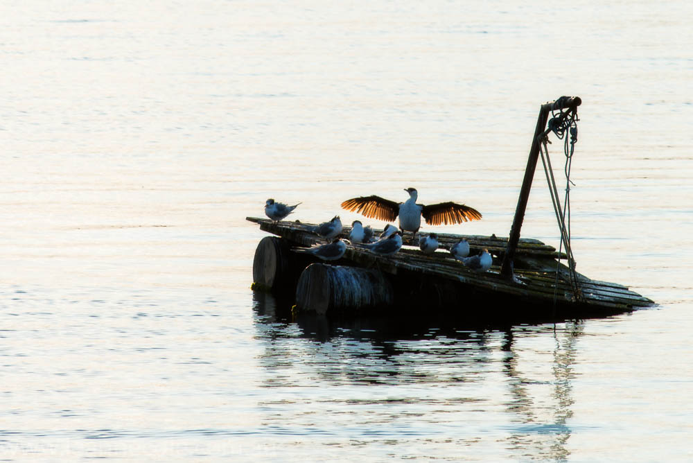 apollo-bay-sunrise-harbour-birds-1