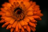 orange-flower-lensbaby-velvet56-alowyn