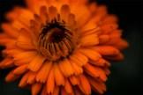 orange-flower-lensbaby-velvet56-alowyn