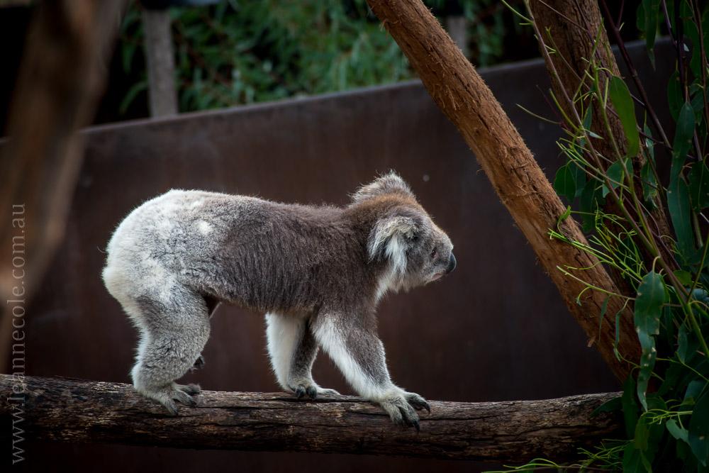 healesville-sanctuary-animals-birds-australia-4703