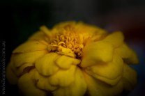 flowers-macro-mifgs-lensbaby-velvet56-9919