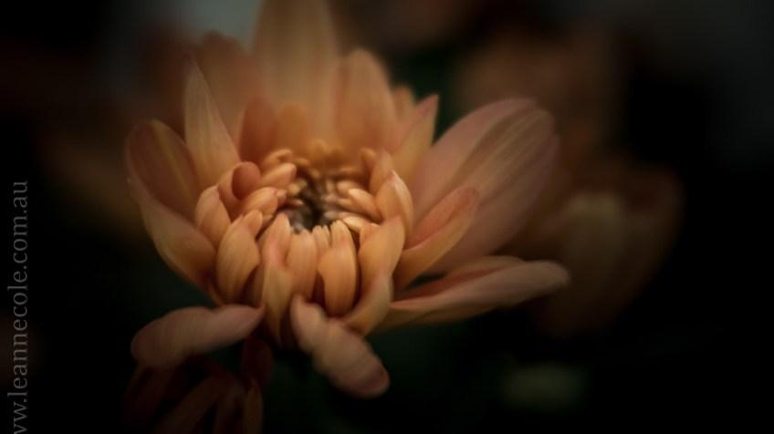 flowers-macro-mifgs-lensbaby-velvet56-9955