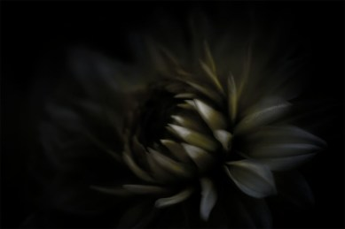 chrysanthemum-flower-edit-experimenting