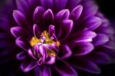 dahlia-mifgs-flower-macro-lensbaby-velvet56