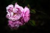 alowyn-gardens-samyang100mm-macro-3316