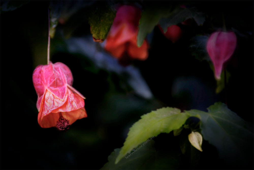chinese-bell-flower-macro-abbey