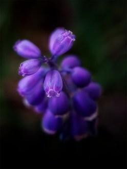 grape-hyacinth-garden-macro-strumanoptics