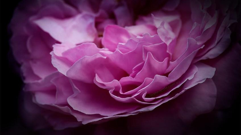 rose-alowyn-gardens-lens-macro