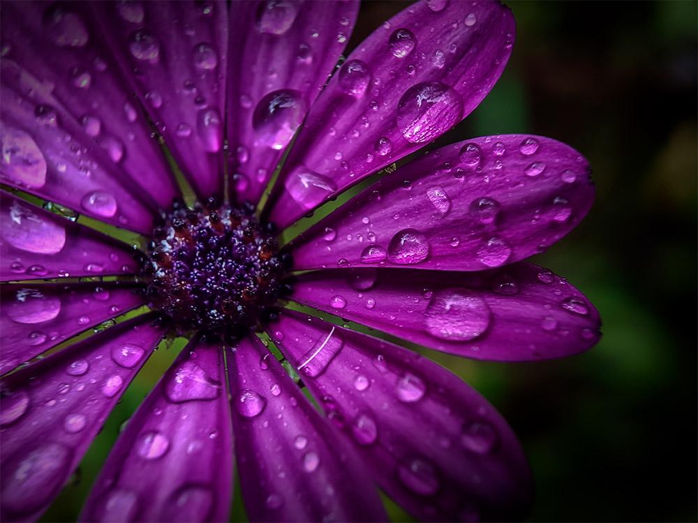 flower-macro-rain-strumanoptics
