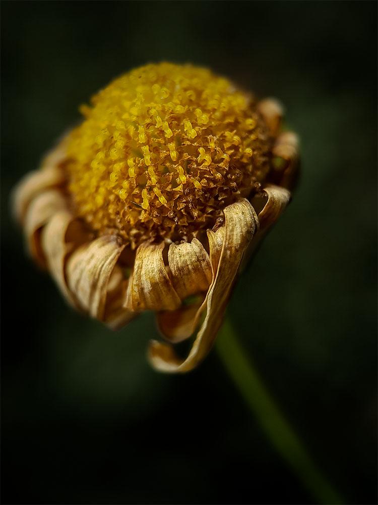 struman-optics-dead-daisy-macro
