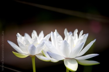 blue-lotus-waterlillies-flower-garden-0283