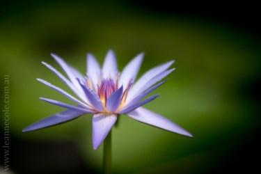 blue-lotus-waterlillies-flower-garden-0287