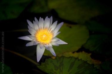 blue-lotus-waterlillies-flower-garden-0305