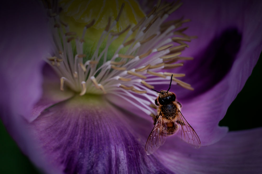 poppy-bee-lensbaby-velvet85-alowyngardens