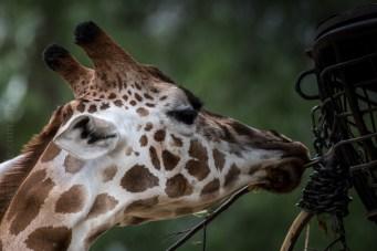melbourne-zoo-animals-tamron-150600-4720