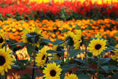 1sml - Sunflowers 2