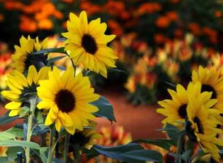 1sml - Tesselaar - sunflowers 1