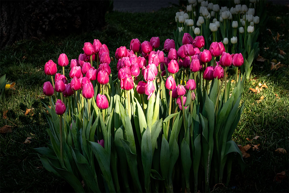 bunch-sunlight-tulips-mifgs-melbourne