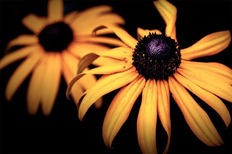 rudbeckia-garden-macro-flower-goldstrum