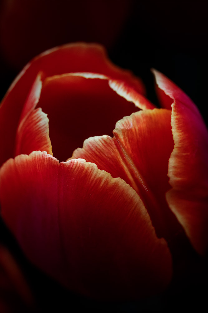 tulip-flower-garden-show-floral-friday