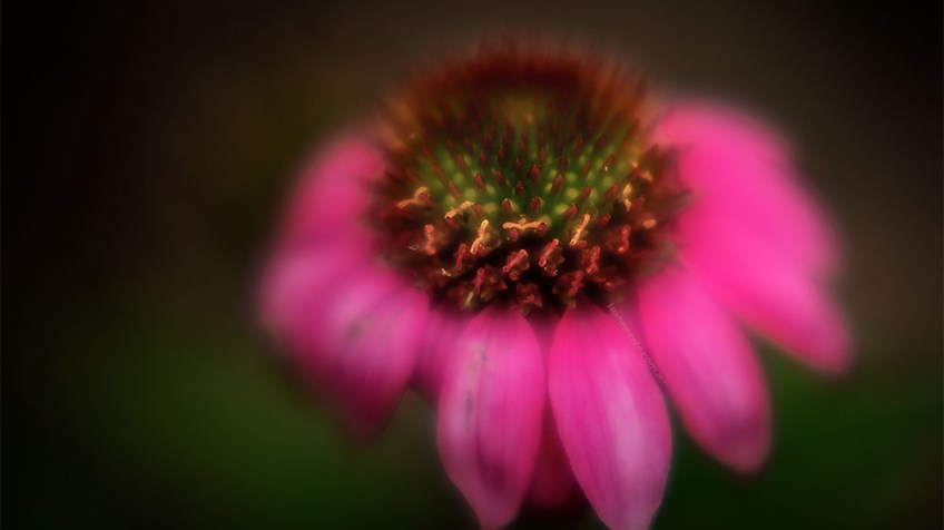 echinacea-flower-fujifilm-macro-garden