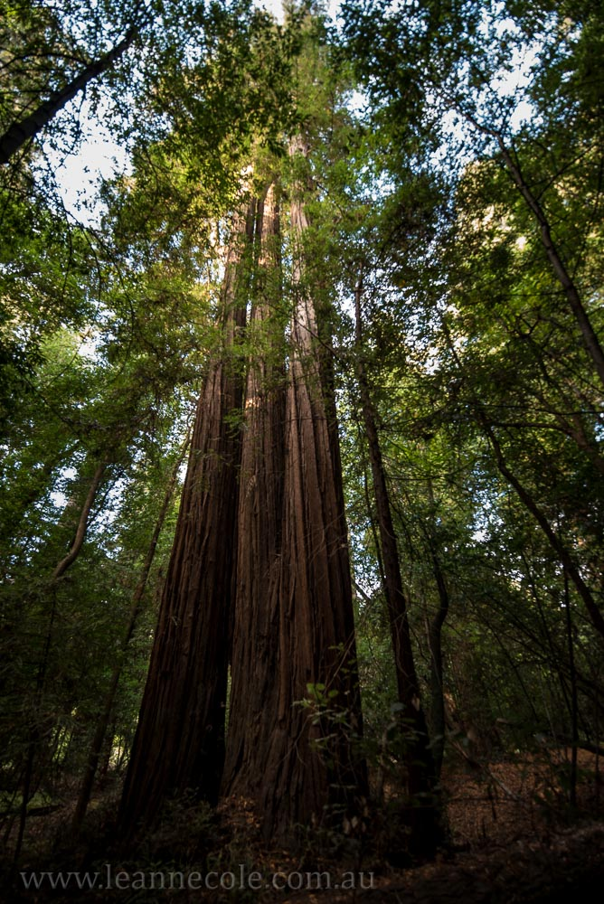 henry-cowell-redwoods-santacruz-mountains-4481