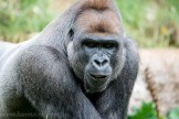 melbourne-zoo-gorillas-1033