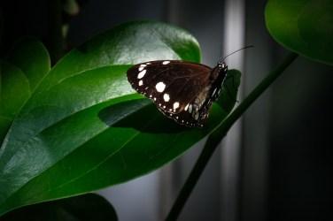 melbourne-zoo-butterflies-fujifilm-xt20-2282