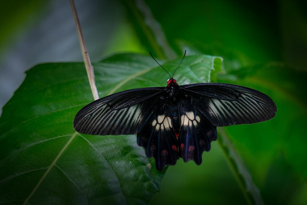 melbourne-zoo-butterflies-fujifilm-xt20-2291